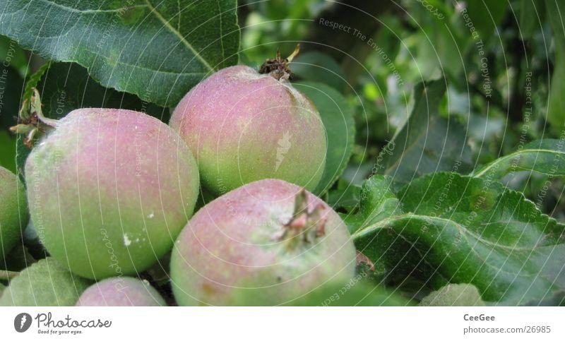Apfeltrio Natur Wasser Baum grün Pflanze rot Blatt Regen rosa Wassertropfen nass Frucht 3 Apfel feucht