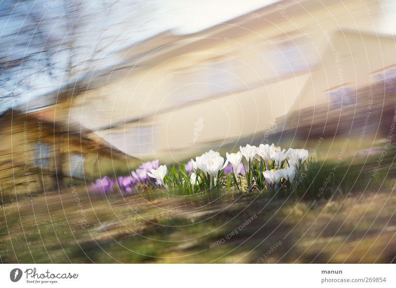Krokussssss... Natur Blume Haus Umwelt Frühling Blüte Dorf