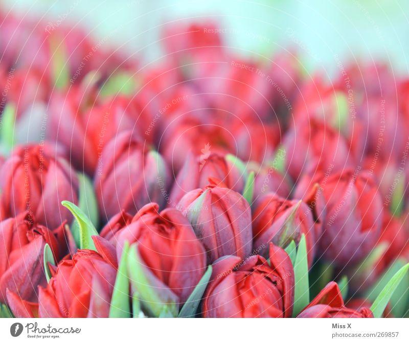 zartes rot rot Pflanze Blume Frühling Blüte Blühend Blumenstrauß Duft Tulpe Pastellton Tulpenfeld