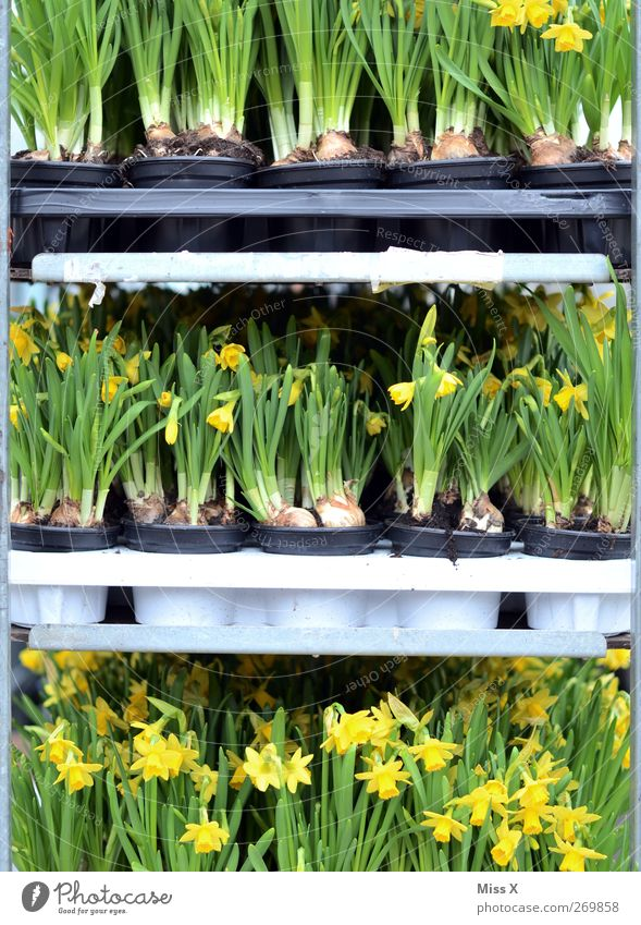 Käfighaltung Frühling Pflanze Blume Blatt Blüte Blühend Duft Blumenhändler Blumentopf Gelbe Narzisse Narzissen Wochenmarkt verkaufen Blumenladen Farbfoto
