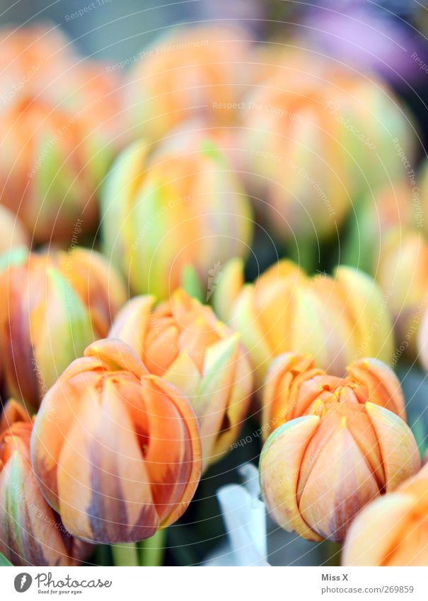 zartes orange Frühling Blume Tulpe Blüte Blühend Duft Tulpenfeld Blumenbeet Frühlingsblume Farbfoto Nahaufnahme Menschenleer Schwache Tiefenschärfe