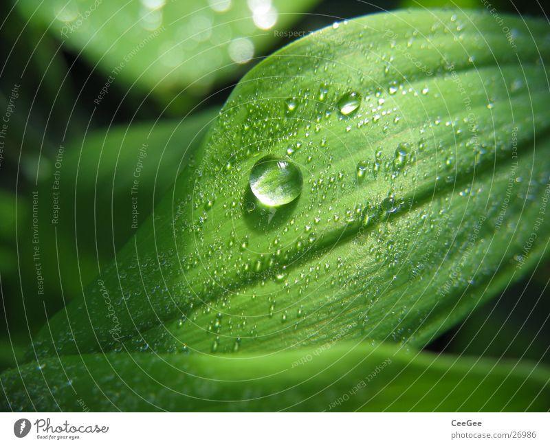 Perle Blatt grün Pflanze Blume nass feucht Licht Natur Nahaufnahme Makroaufnahme Wasser Wassertropfen Seil Regen Linie Strukturen & Formen Schatten