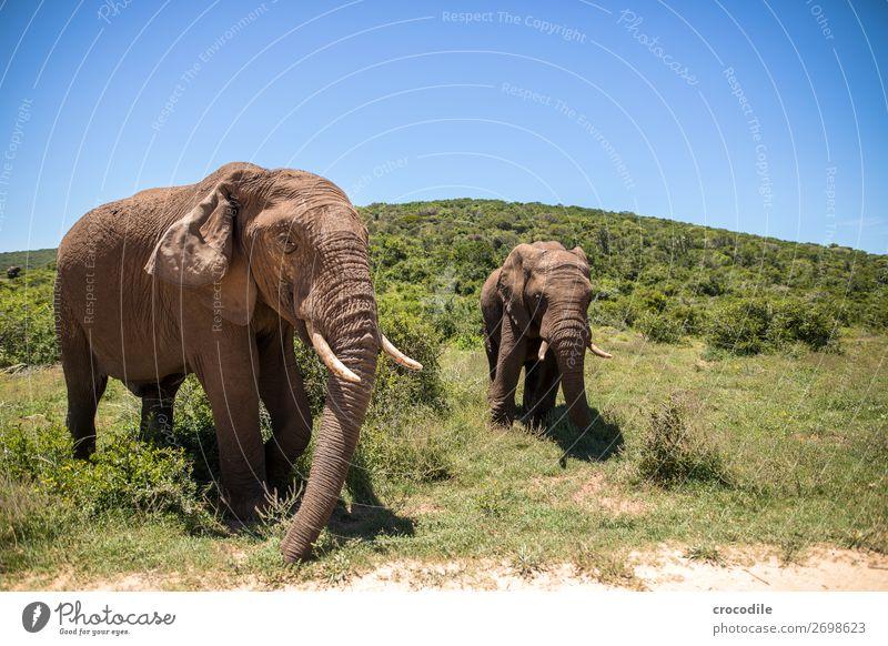 # 844 Elefant Koloss Herde Südafrika Nationalpark Schutz friedlich Natur Rüssel Säugetier bedrohlich aussterben Elfenbein Großwild Big 5 Sträucher Wasserstelle