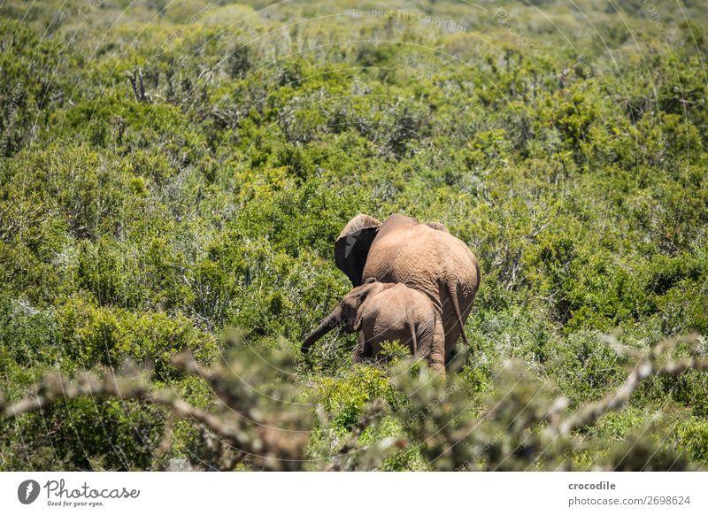 # 846 Natur Familie & Verwandtschaft Sträucher bedrohlich Schutz Säugetier Nationalpark friedlich Grasland Staub Elefant Herde Rüssel Steppe Koloss Bulle