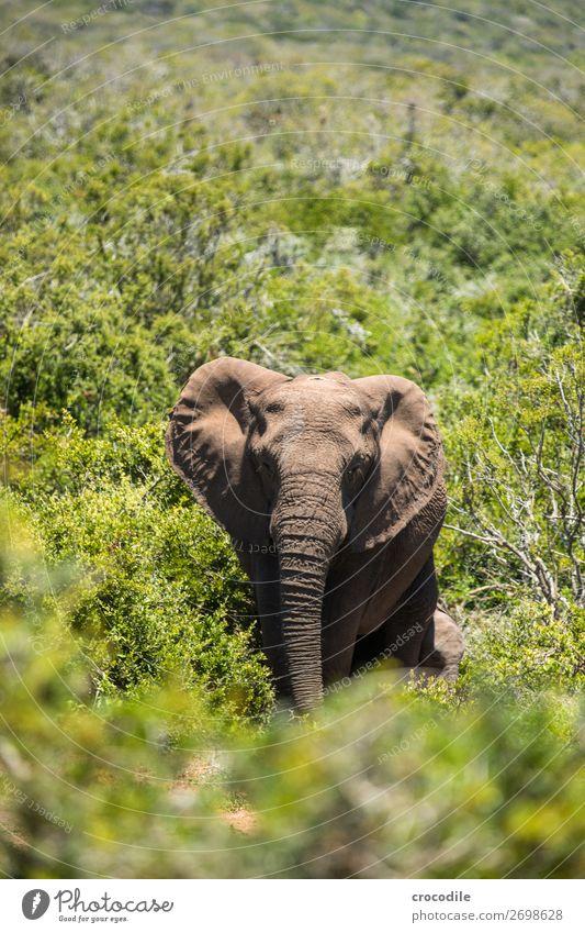 # 837 Natur Sträucher groß bedrohlich Schutz Säugetier Nationalpark friedlich Elefant Herde Rüssel Koloss Südafrika Elfenbein