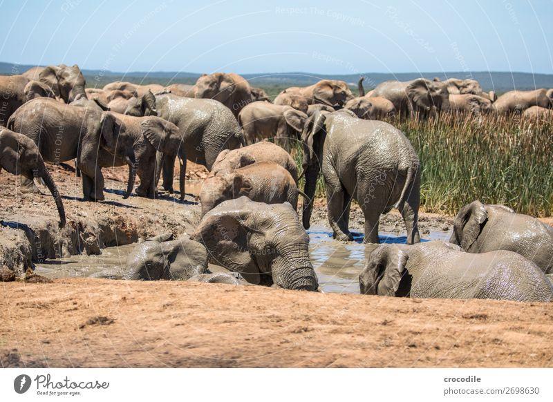 # 838 Natur Schwimmen & Baden Sträucher groß bedrohlich Schutz trinken Säugetier Nationalpark friedlich Elefant Herde Schlamm Rüssel Koloss Südafrika