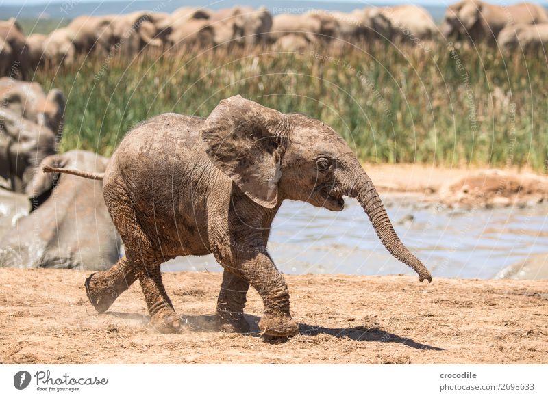 # 839 Elefant Koloss Herde Südafrika Nationalpark Schutz friedlich Natur Rüssel Säugetier bedrohlich aussterben Elfenbein groß Big 5 Sträucher Wasserstelle