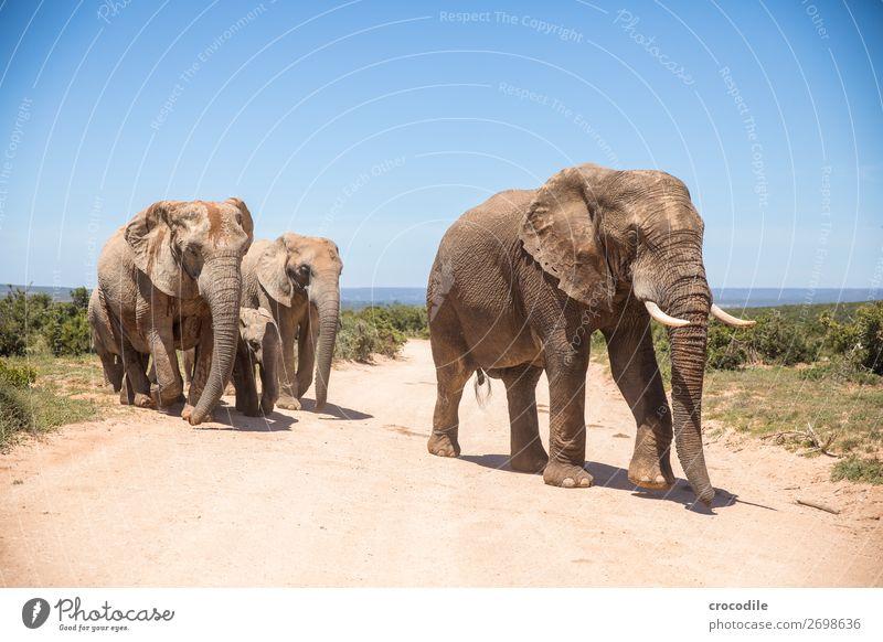 Elefant im addo elephant national park Rüssel Porträt Herde Nationalpark Südafrika Stoßzähne Elfenbein ruhig majestätisch wertvoll Safari Natur Außenaufnahme