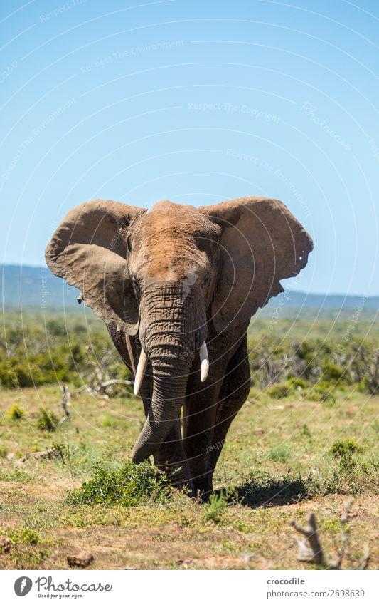 Elefant im addo elephant national park Rüssel Porträt Nationalpark Südafrika Stoßzähne Elfenbein Schlamm ruhig majestätisch wertvoll Safari Natur Außenaufnahme