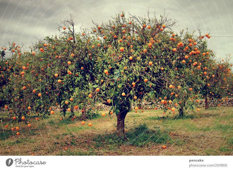 sinaasappel Orange Baum Nutzpflanze Gelassenheit Orangenhain Mallorca viele paradiesisch Duft Farbfoto Außenaufnahme Textfreiraum unten