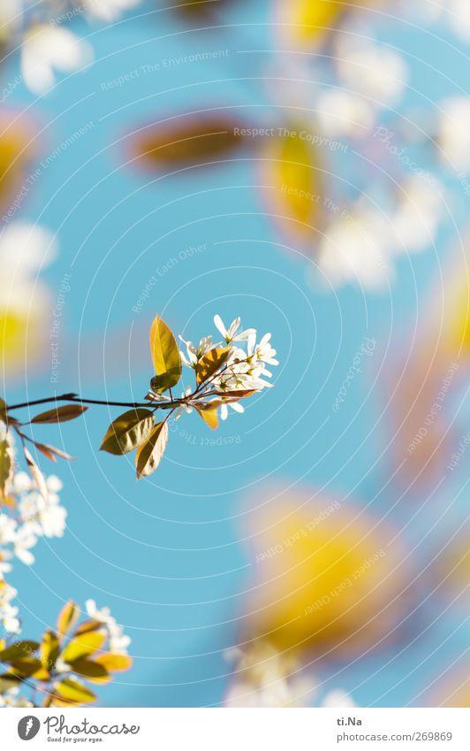 Blütenfokus Natur Himmel Wolkenloser Himmel Frühling Schönes Wetter Baum Sträucher Felsenbirne Blühend Duft leuchten hell Frühlingsgefühle Farbfoto mehrfarbig