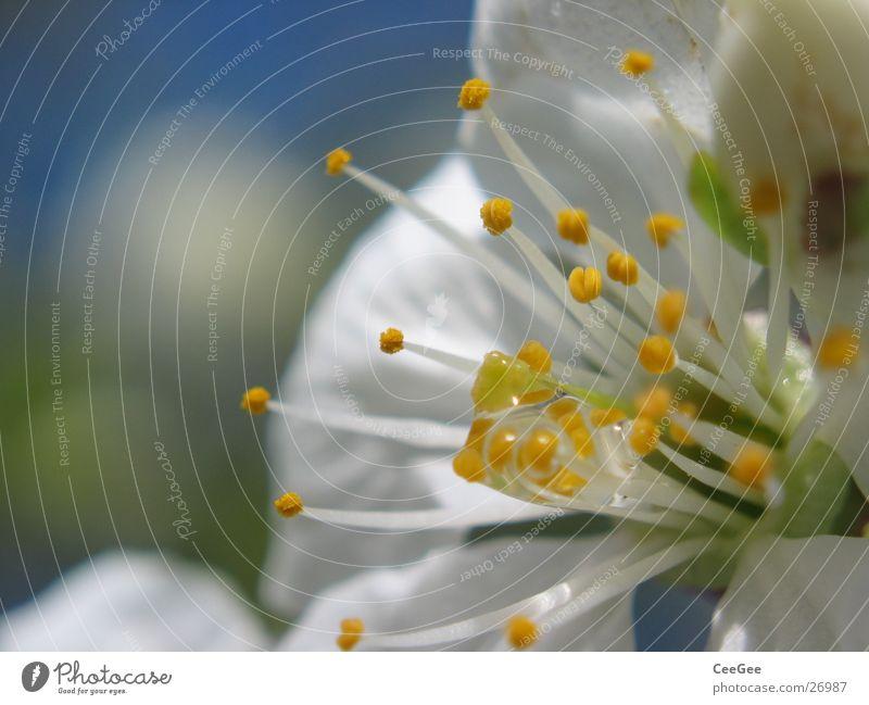 Kirschblüte Blüte Pflanze Kirschblüten weiß Pollen Natur Kirschbaum Nahaufnahme Makroaufnahme Wassertropfen Stempel Regen Seil