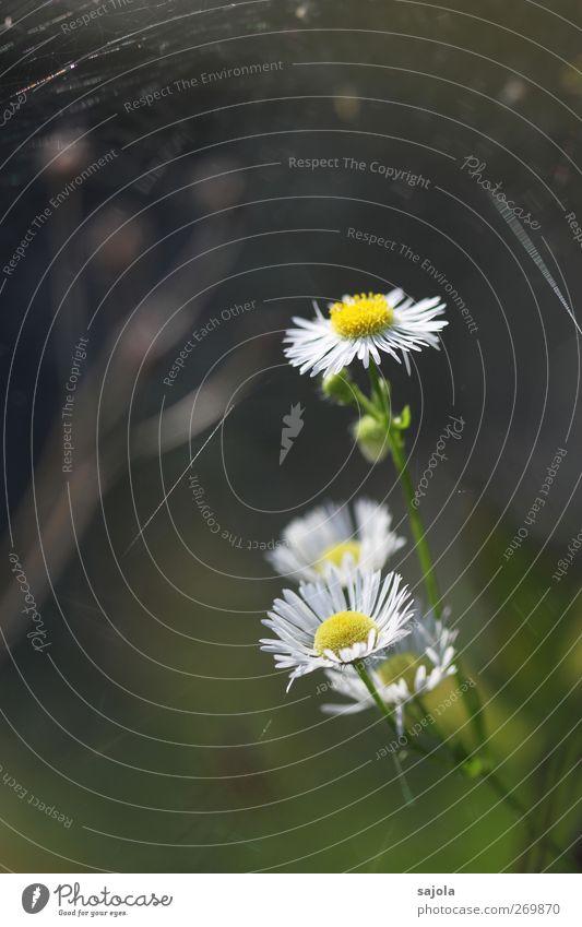 gänseBlümchen Umwelt Natur Pflanze Blume Blüte Gänseblümchen Blühend ästhetisch gelb weiß Farbfoto Außenaufnahme Nahaufnahme Menschenleer Textfreiraum links