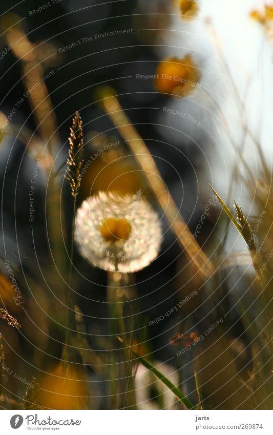 träumer Umwelt Natur Pflanze Frühling Sommer Blume Gras Blüte Wiese natürlich Zufriedenheit Vorsicht Gelassenheit ruhig Idylle Löwenzahn Farbfoto Außenaufnahme