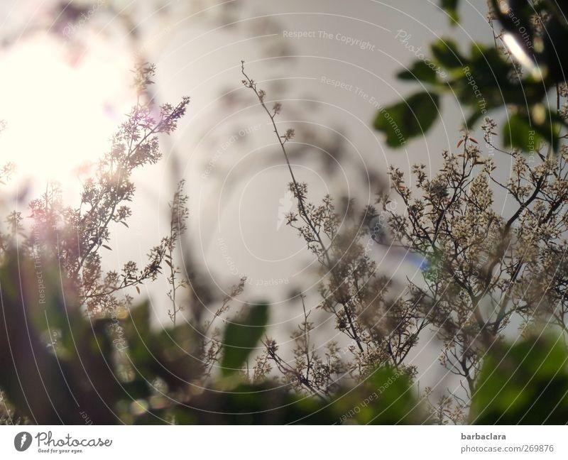 Lila Flora Pflanze Himmel Sonne Sonnenaufgang Sonnenuntergang Frühling Sträucher Blatt Blüte Garten Blühend genießen leuchten Wachstum ästhetisch feminin wild