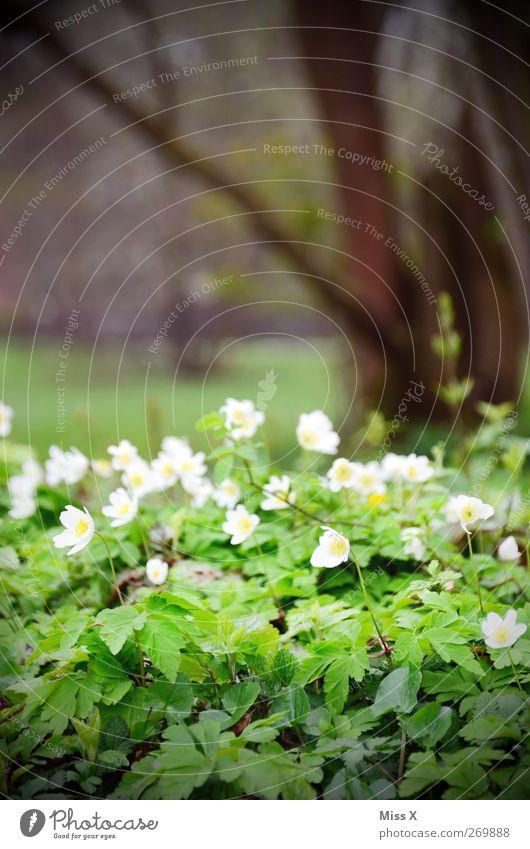 Buschwindröschen Pflanze Frühling Blume Blatt Blüte Wildpflanze Park Wiese Blühend Duft weiß Farbfoto Außenaufnahme Menschenleer Schwache Tiefenschärfe