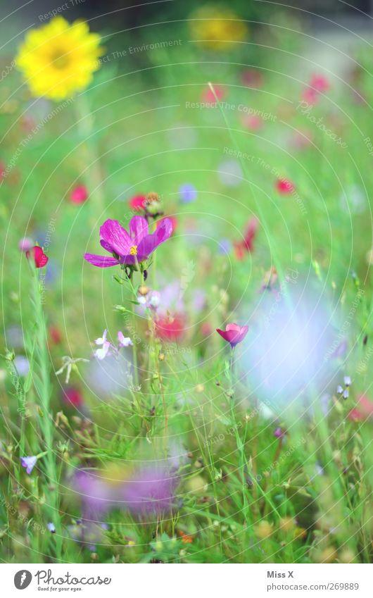 Blumenwiese Natur Pflanze Frühling Sommer Blüte Garten Wiese Blühend Duft mehrfarbig violett Farbfoto Außenaufnahme Nahaufnahme Menschenleer