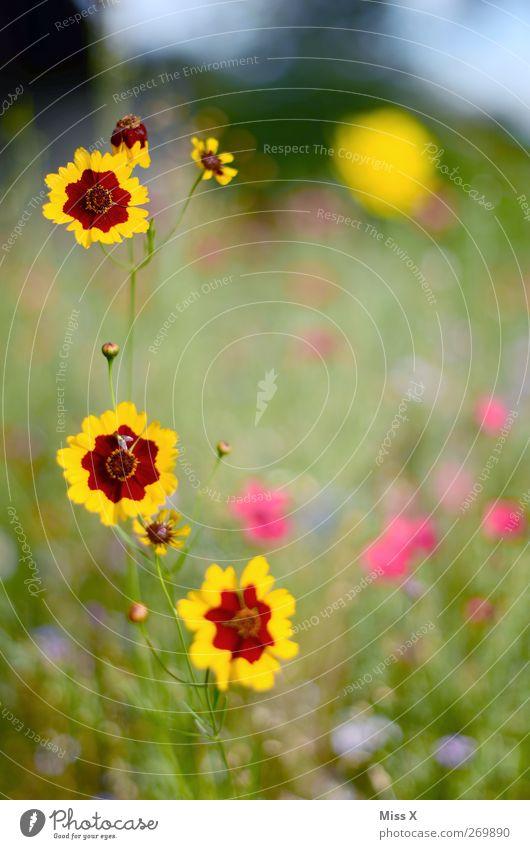 Blümchenwiese Natur Pflanze Frühling Sommer Blume Blüte Garten Wiese Blühend Duft Blumenwiese Farbfoto mehrfarbig Außenaufnahme Nahaufnahme Menschenleer