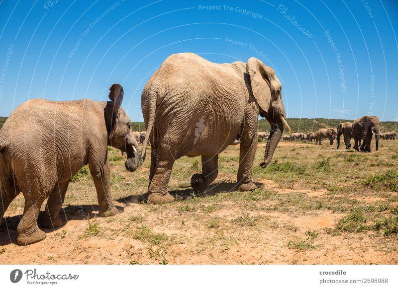 # 840 Natur Tierjunges Spielen gehen wandern laufen Sträucher Baby groß bedrohlich Schutz trinken Säugetier Nationalpark friedlich Elefant