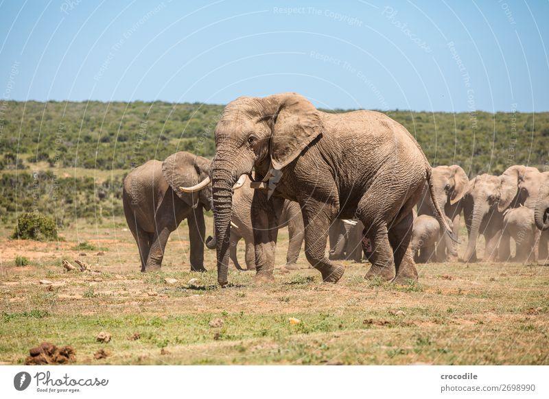 # 841 Natur Tierjunges Spielen gehen wandern laufen Sträucher Baby groß bedrohlich Schutz trinken Säugetier Nationalpark friedlich Elefant