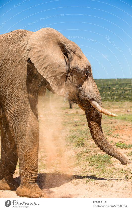 # 842 Elefant Koloss Herde Südafrika Nationalpark Schutz friedlich Natur Rüssel Säugetier bedrohlich aussterben Elfenbein Großwild Big 5 Sträucher Wasserstelle