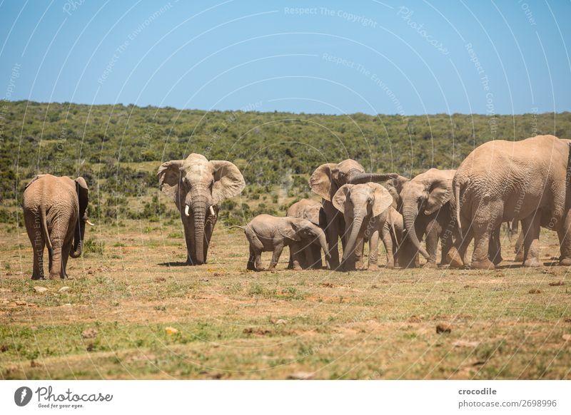 # 843 Natur Familie & Verwandtschaft Sträucher bedrohlich Schutz Säugetier Nationalpark friedlich Grasland Staub Elefant Herde Rüssel Steppe Koloss Südafrika