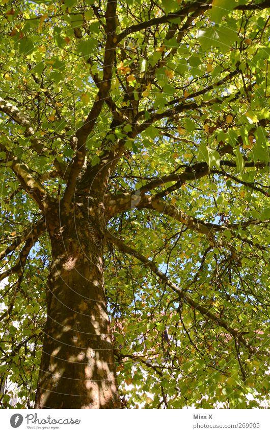 Sonnenflecken Natur Himmel Sommer Schönes Wetter Baum Blatt hoch grün Ast Zweig Baumstamm Farbfoto mehrfarbig Außenaufnahme Menschenleer Sonnenlicht