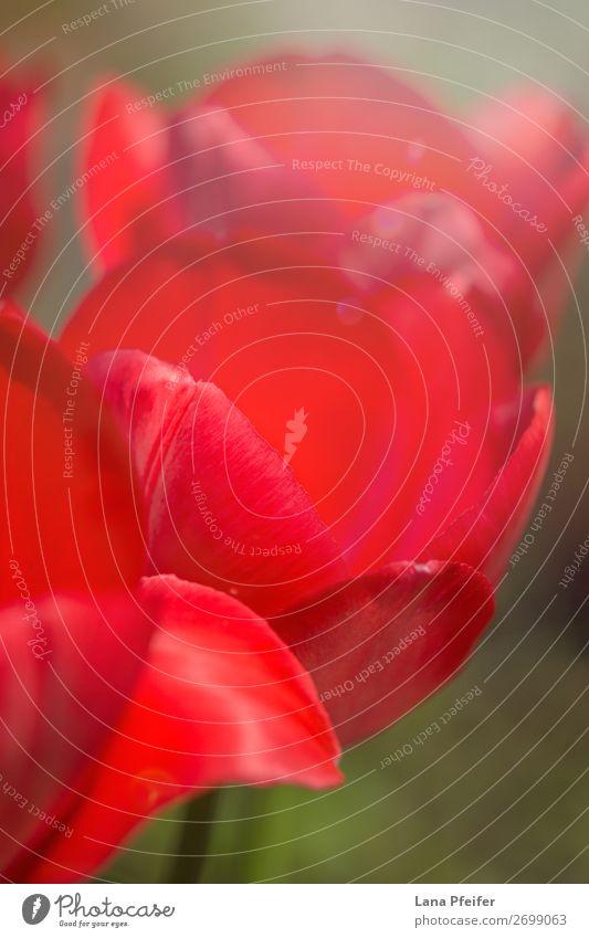 Nahaufnahme der isolierten Tulpenblüte Natur Landschaft Pflanze Sonne Frühling Blume Garten Park Leidenschaft rot Überstrahlung Blüte Hintergrundbild