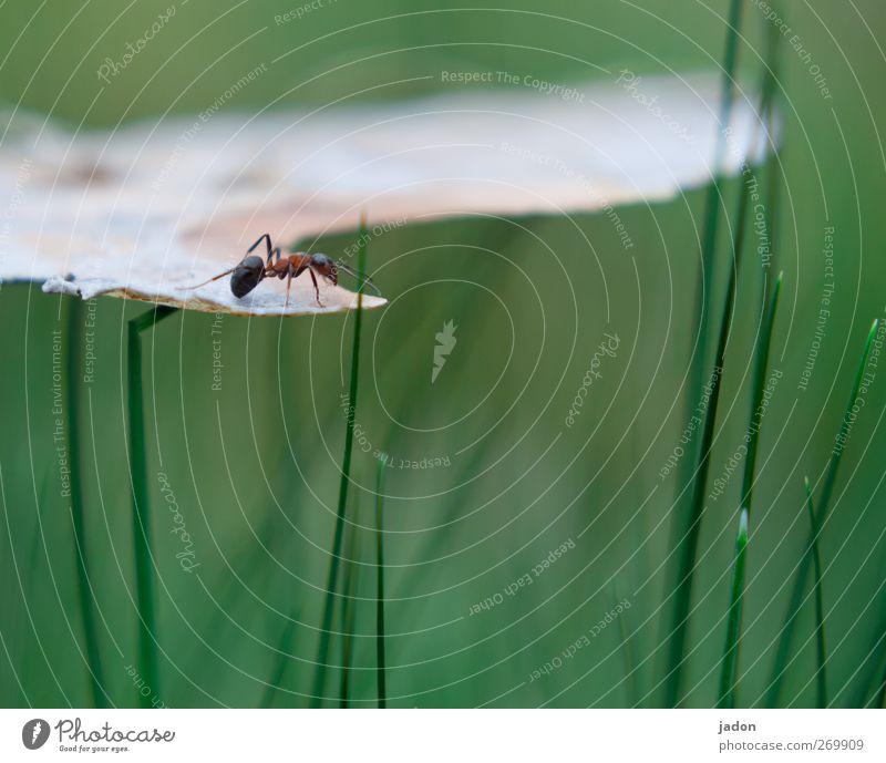 abenteuer der kleinen ameise. Tier Gras Ameise 1 stehen grün einzeln Ein Tier Insekt hoch Nahaufnahme Makroaufnahme Textfreiraum unten Sonnenlicht Unschärfe