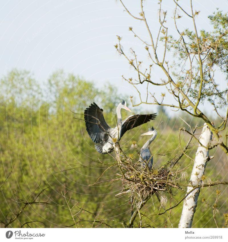 Schatz, ich hab Dir was mitgebracht! Umwelt Natur Tier Frühling Pflanze Baum Wildtier Vogel Reiher Graureiher Nest Nestbau 2 Tierpaar Brunft bauen fliegen frei