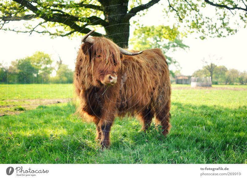 Wo bitte geht's hier nach Schottland? Umwelt Natur Sonne Frühling Sommer Baum Gras Grünpflanze Nutzpflanze Wiese Feld Tier Nutztier Kuh
