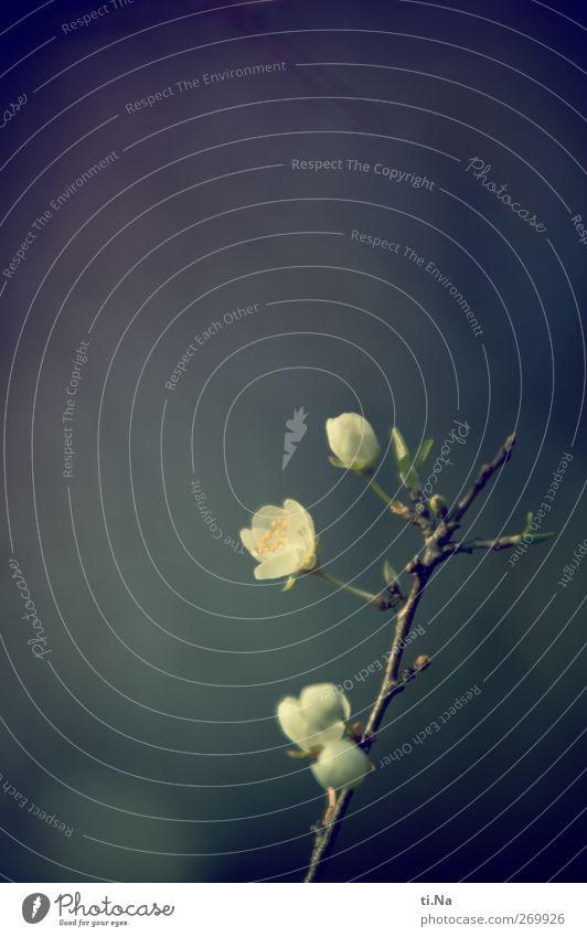 man hört sie, aber sieht sie nicht Natur weiß grün Baum Frühling grau Garten natürlich wild Schönes Wetter Blühend Duft Frühlingsgefühle Wildpflanze