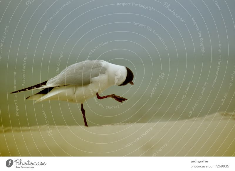Möwe Umwelt Natur Landschaft Tier Küste Strand Ostsee Wildtier Vogel Lachmöwe 1 gehen außergewöhnlich natürlich niedlich Stimmung Leben Farbfoto Außenaufnahme