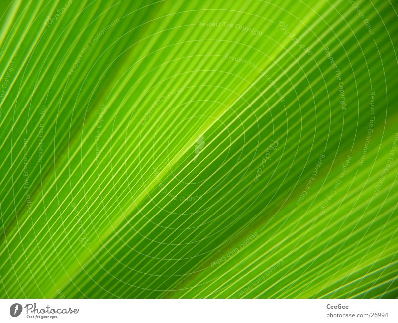 linear Blatt Pflanze Blume grün Stil Natur Makroaufnahme Nahaufnahme Linie Strukturen & Formen Pflanzenfaser Blattfaser