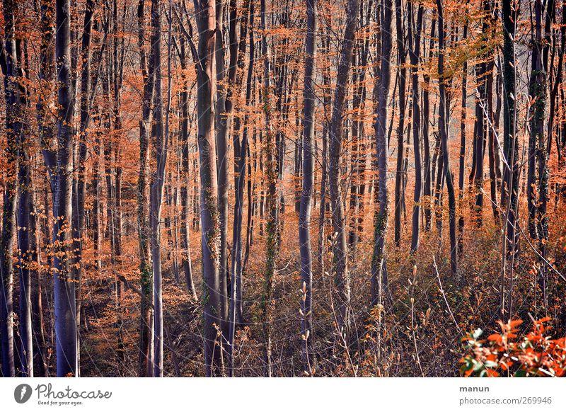 Wald Natur Landschaft Herbst Baum Laubwald herbstlich Herbstfärbung orange Farbfoto Gedeckte Farben Außenaufnahme Menschenleer Tag Kontrast Sonnenlicht