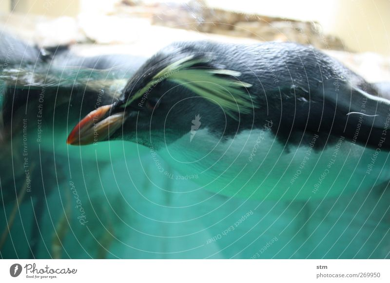 fest im blick Tier Wasser Wildtier Tiergesicht Flügel Fell Zoo Aquarium Pinguin 1 Coolness zielstrebig Farbfoto mehrfarbig Innenaufnahme Nahaufnahme