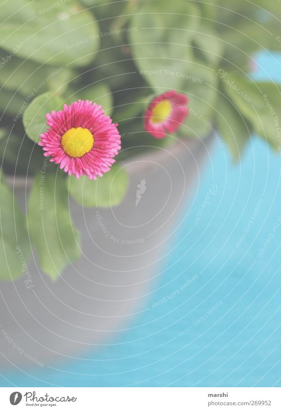 pinkes Gänseblümchen Natur Pflanze Blume gelb rosa Blatt Blühend Sommer Frühling Frühlingsblume Frühlingsfarbe Farbfoto Außenaufnahme Nahaufnahme Detailaufnahme