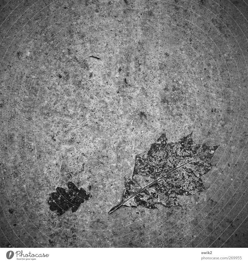 Blattsalat Natur alt Pflanze schwarz dunkel Tod grau Erde liegen natürlich trist Wandel & Veränderung Trauer Vergänglichkeit verfaulen