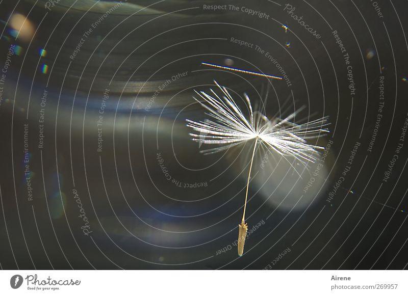 Rettungsschirm Natur blau weiß Pflanze Blume fliegen elegant ästhetisch Schutz fallen Zeichen Löwenzahn Schweben Samen Optimismus Fallschirm