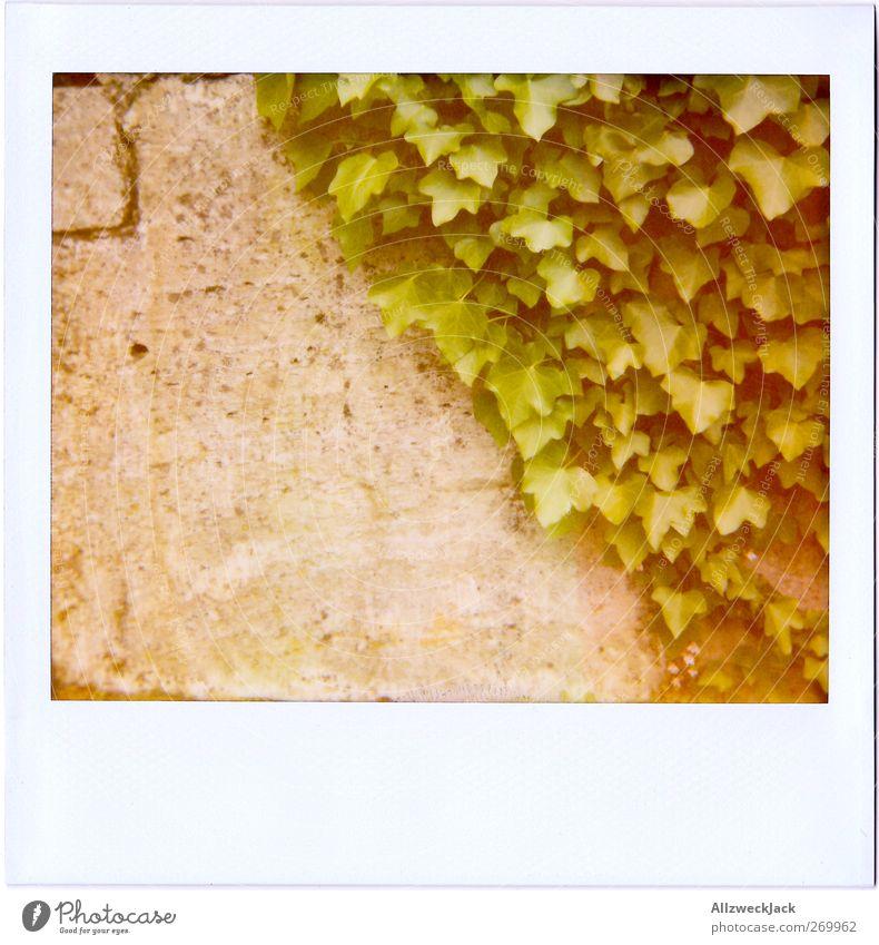 50\50 Natur grün Pflanze Blatt Wand grau Mauer Fassade Gegenteil Efeu Ranke