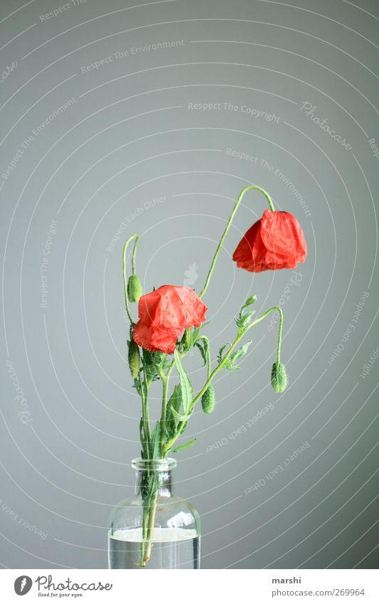 trister Mohntag Pflanze Blume Blatt Blüte grün rot Mohnblüte Mohnkapsel Mohnblatt verblüht Vase grau Farbfoto Innenaufnahme