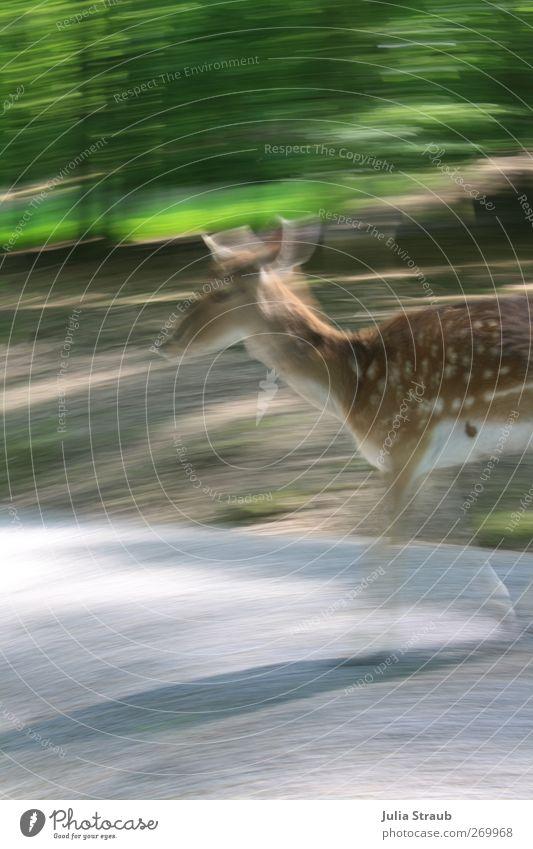 Reh oder was Natur grün Wald Frühling grau braun Wildtier Schönes Wetter Fell Tiergesicht Gelassenheit Damwild Wildwechsel Wildpark