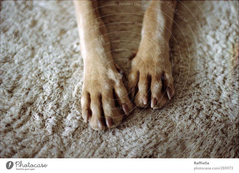 Entspannung Tier Haustier Hund Fell Pfote 1 Erholung genießen liegen braun gold grau Teppich Krallen Beine ausruhend Farbfoto Innenaufnahme Menschenleer