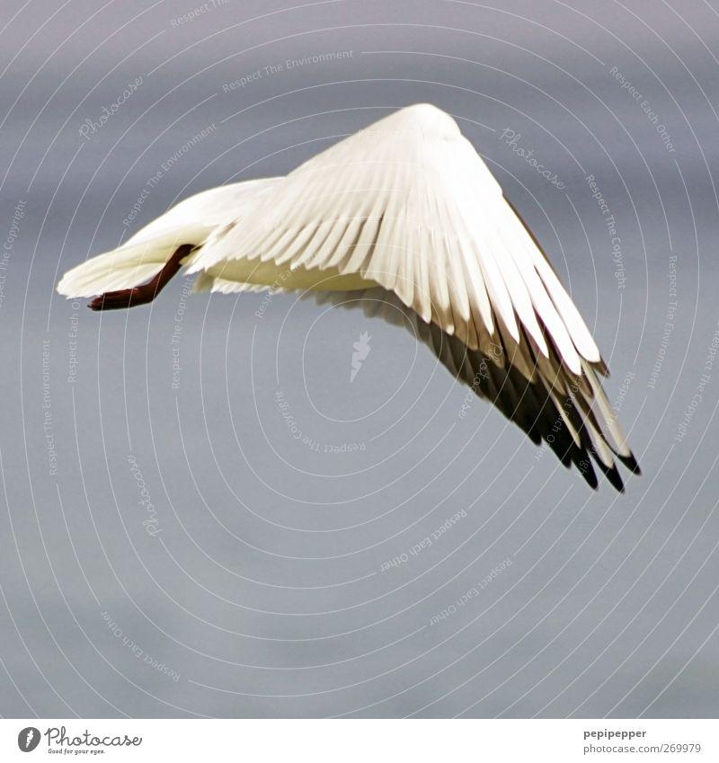 deltaflug blau Wasser weiß Tier Küste Luft Vogel fliegen Wildtier außergewöhnlich Flügel Feder Möwe