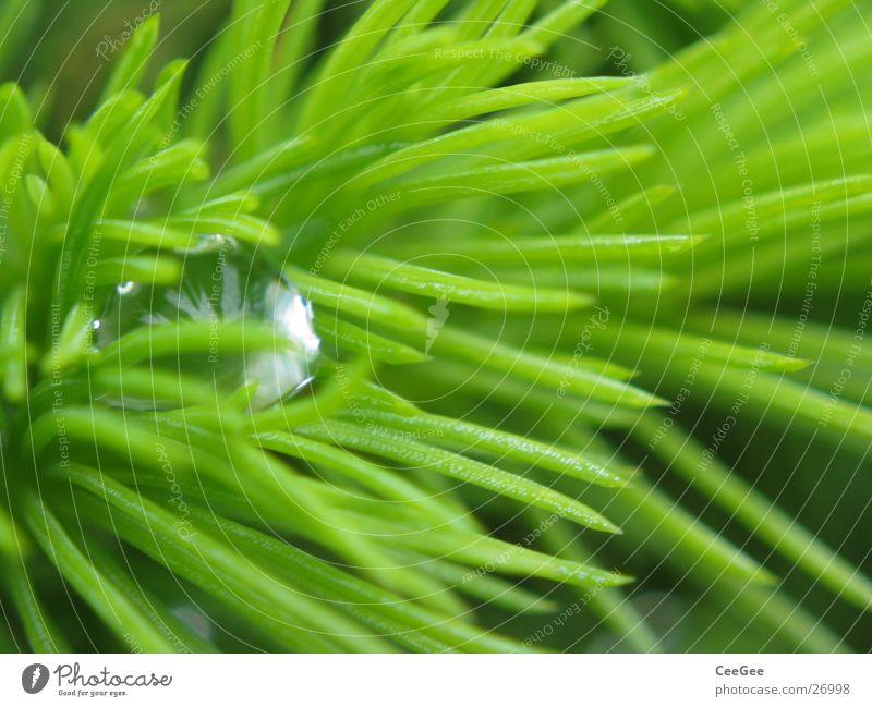 bestechend Natur Wasser grün Regen Linie Wassertropfen Seil Spitze Tanne verstecken Geborgenheit stachelig Tannennadel stechend
