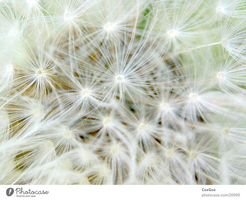 pustefein Löwenzahn weiß Blüte Blume Pflanze Frühling weich zart dünn schmal leicht Gliedmaßen Schirmchen Natur Makroaufnahme Nahaufnahme hell
