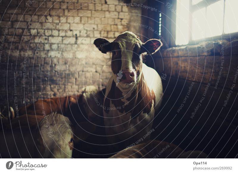 Muuuhhhhh weiß Tier schwarz braun groß Tiergruppe beobachten weich Neugier Kuh Herde Nutztier