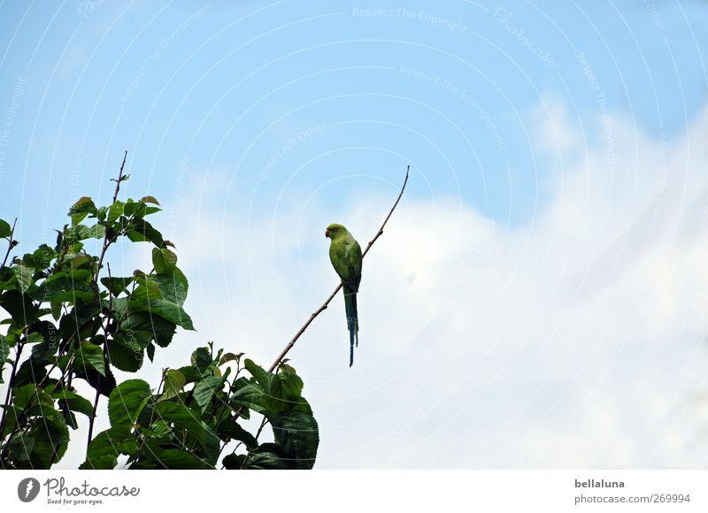 Bin auf dem Sonnendeck Himmel Natur blau grün Baum Pflanze Blatt Tier Wolken Vogel Wildtier sitzen exotisch Wildpflanze Teneriffa Papageienvogel