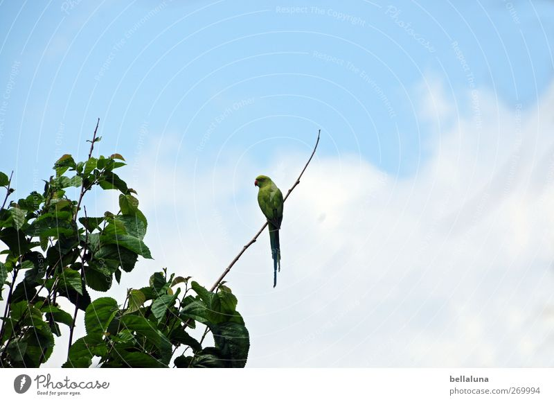 Bin auf dem Sonnendeck Natur Himmel Wolken Pflanze Baum Blatt Wildpflanze exotisch Tier Wildtier Vogel 1 sitzen Teneriffa Papageienvogel Ara grün blau Farbfoto