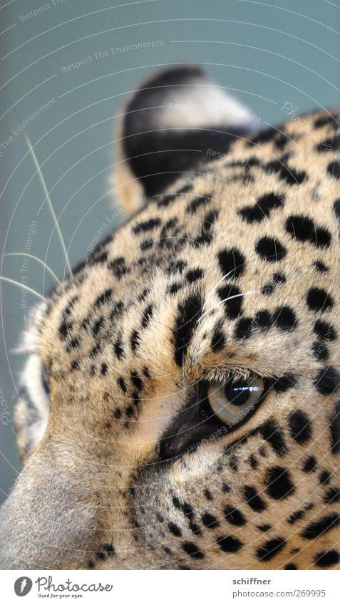 Augenblick Katze Tier Auge Wildtier wild Ohr Fell Tiergesicht hören Zoo Jagd Nervosität Schnurrhaar fixieren Leopard